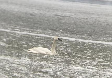 Tundra swan as seen from Picnic Point